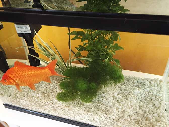 金魚201509-5
