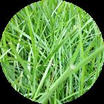 初心者芝生日記〜スタートが遅れた液肥。撒き始めて一ヶ月あまり経った芝生の様子。