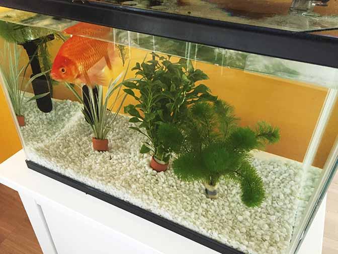 金魚201509-3