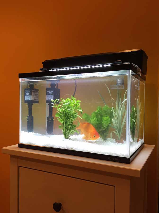 金魚201509-1