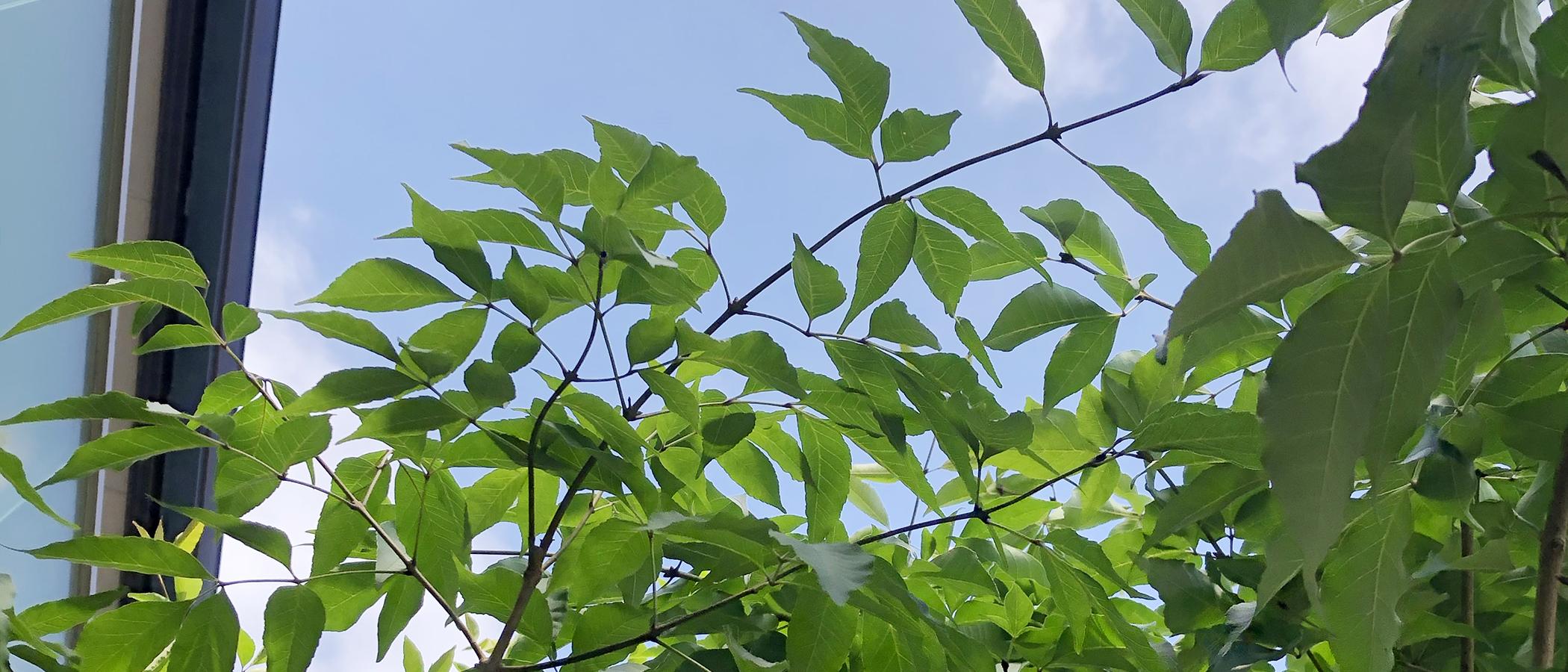 一条工務店i-smart シンボルツリー アオダモ 落葉樹