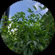 シンボルツリーアオダモの写真 一条工務店 i- smart アイスマート 外溝 庭 落葉樹 ローメンテ モダン おしゃれ